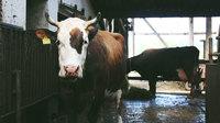 Allgemein kuh im stall