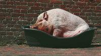 Allgemein schwein